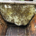 Comb within a top bar hive