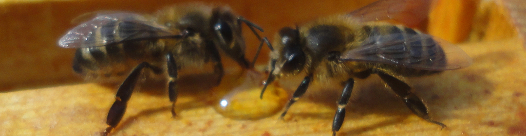 Two Honey bees on a frame